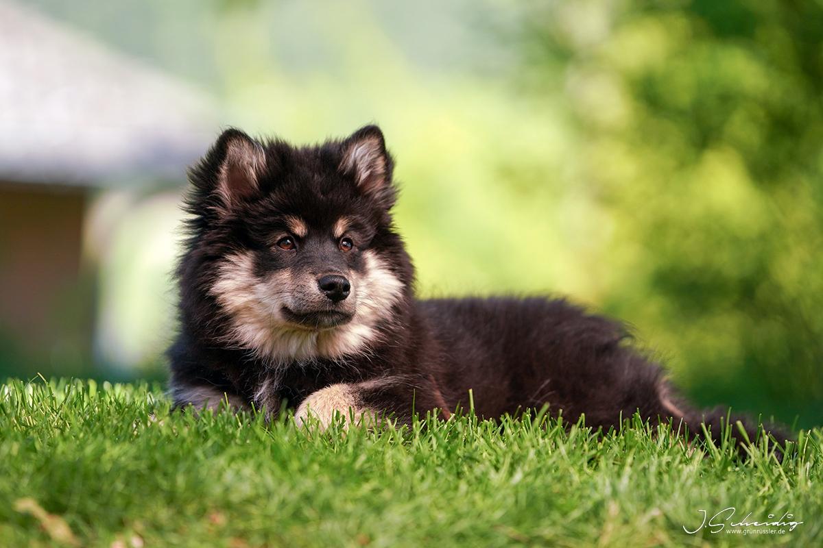 Finnischer-Lapphund Welpe
