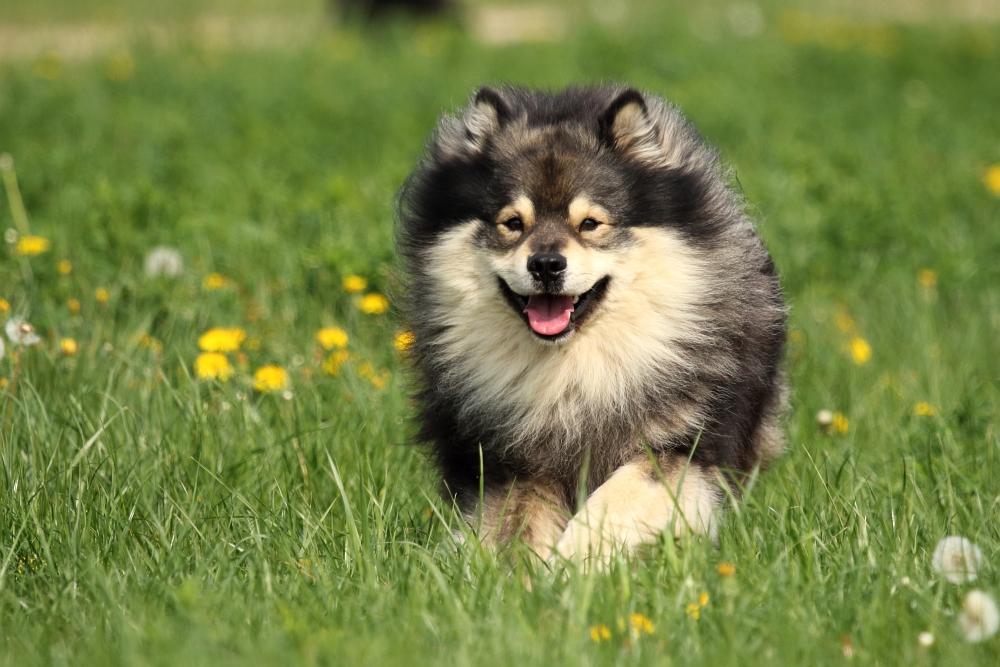 Finnischer Lapphund Mika
