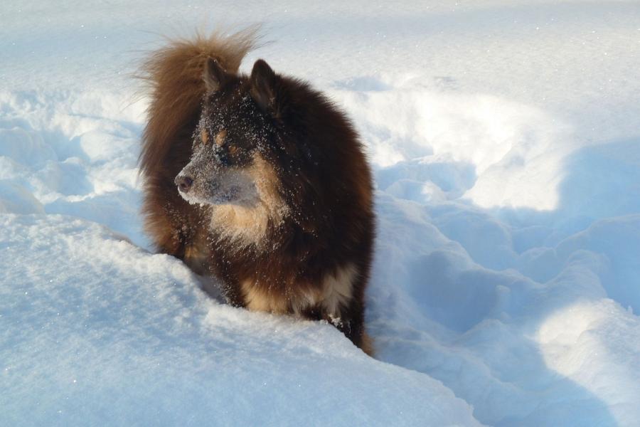 Finnischer Lapphund Kalle