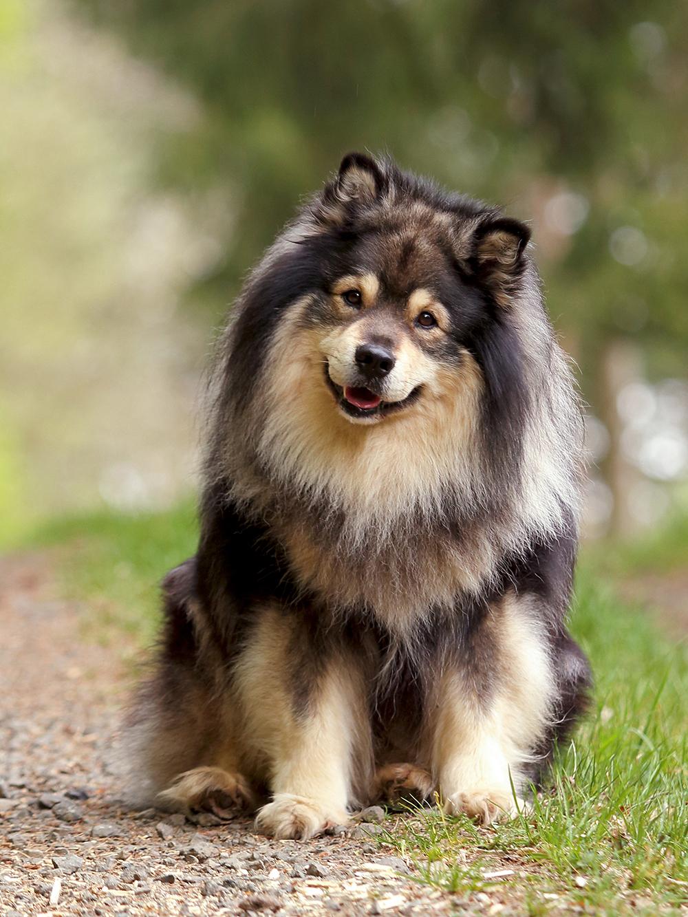 Finnischer-Lapphund-Long-Live-Dream-Alaska