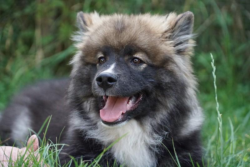 Finnischer-Lapphund-Welpe