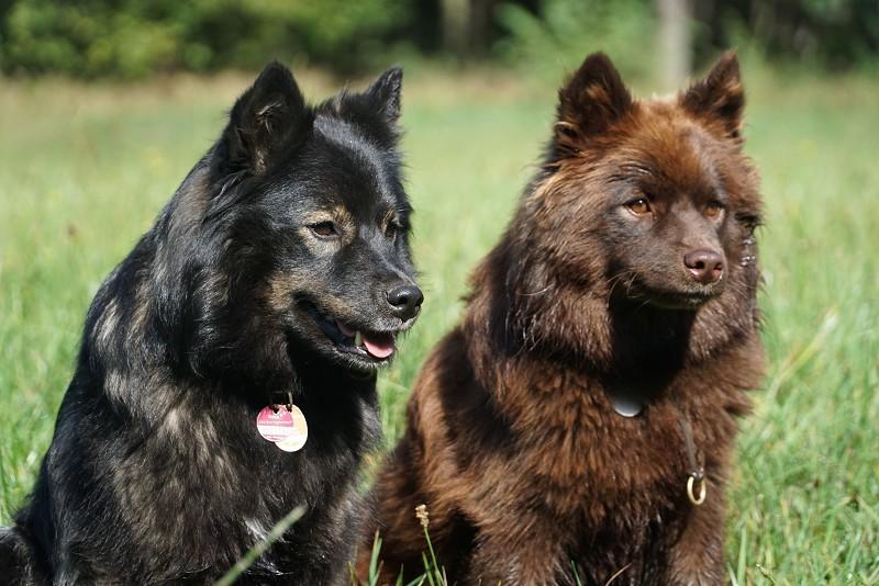 Finnische Lapphunde Lilly und Baili