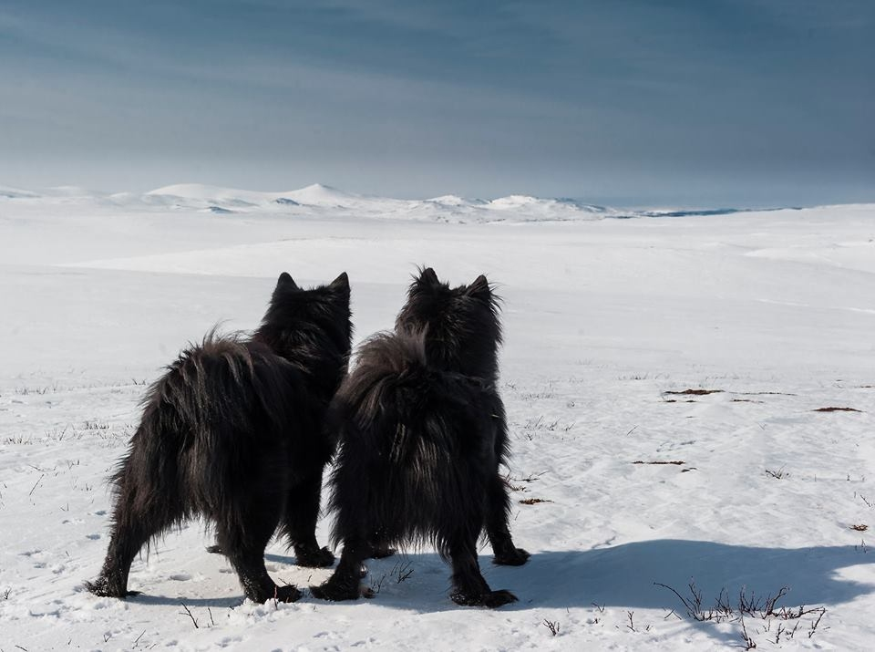 Schwedische Lapphunde Schweden