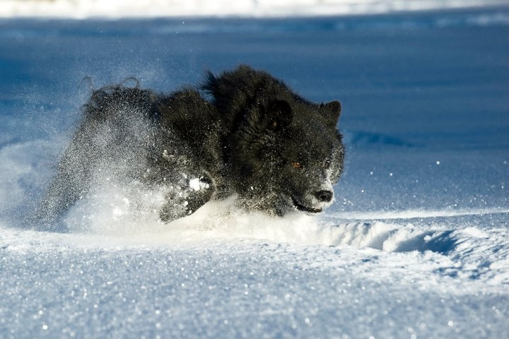 Schwedischer-Lapphund im Schnee