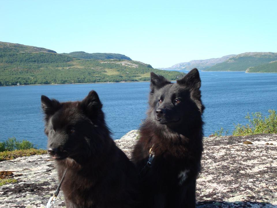 Schwedische Lapphunde