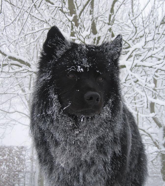 Schwedischer-Lapphund Rüde Tjappo in den Niederlande