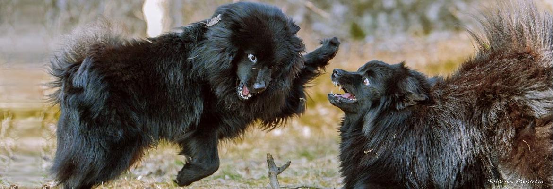 Schwedische Lapphunde - Martin-Faltstrom