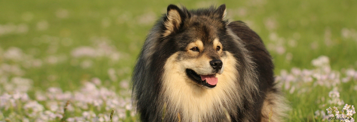 Finnischer Lapphund Long-Live-Dream Alaska