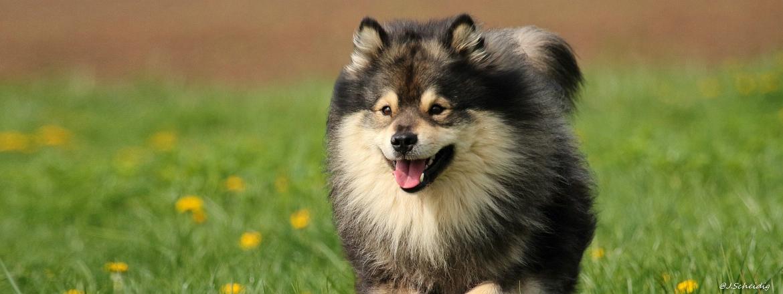 Schwedischer Lapphund Mika - Janet Scheidig